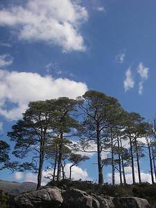 Scots Pines on Loch Maree