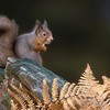 Red squirrel 2 HRM