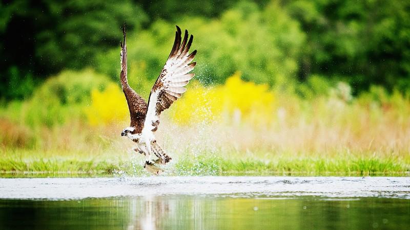 Osprey Cairngorms