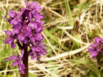 Orchids at Dundreggan.