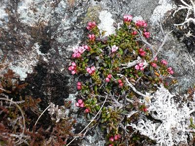 Alpine Azalea to some.