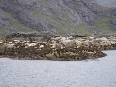 Common Seal - Loch Scavaig.