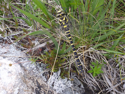 Golden Ringed Dragonfly.