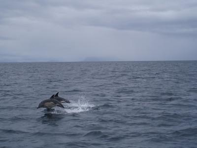 Common Dolphin - Loch Scavaig.