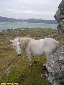 Eriskay ponies, Beinn Sciathan, Eriskay.