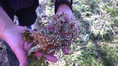 Loads of beautiful lichens in ancient scrub woodland.