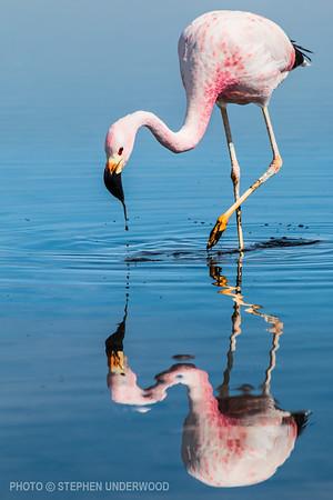 Flamingo in an Altiplano lake