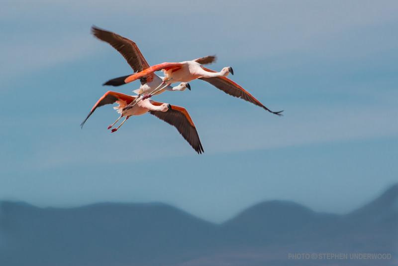 Flamingoes over an Altiplano lake