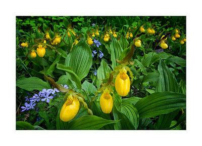Yellow Lady Slippers - Central Minnesota
