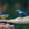 Chorister Robin-Chat and Black-bellied Starling