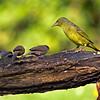 Female Cape Weaver and Common Waxbills