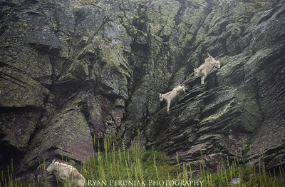 """The Goat family morning conversation """"Hey kids, today we have something fun planned…we're going to see who can run the fastest down a cliff face without dying!"""""""