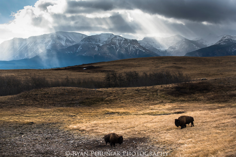 Two bison meet under moody skies as the first hint of winter touches the high country. (captive)