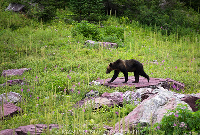 A grizzly bear wanders past our backcountry campsite in the early morning, not causing the least bit of trouble.  If you keep a clean site and store your food properly, you can rest assured that the bears have much better things to do than give you any hassle.