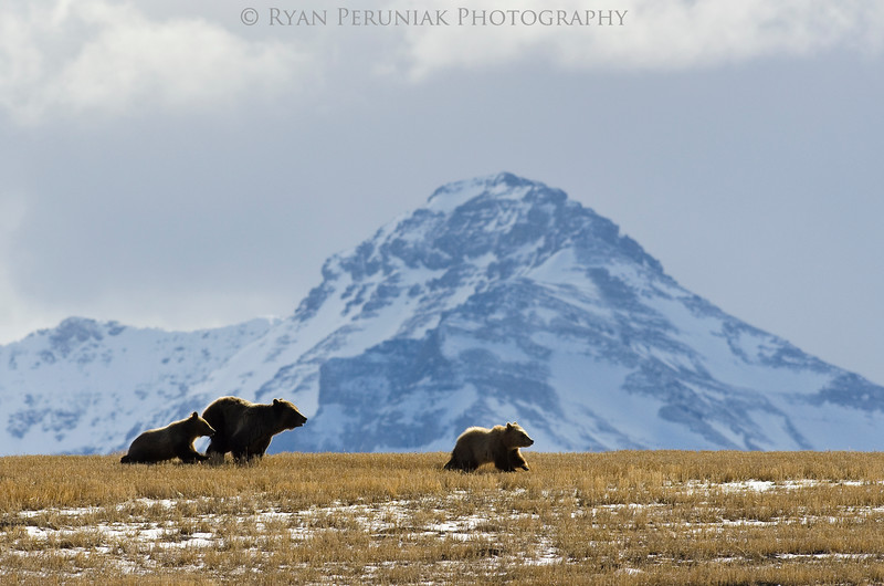 One of the most amazing sights This Spring was witnessing 6 grizzly bears hanging out together in a field just outside the front ranges of the rockies.  I couldn't get a decent shot of all 6 bears in one frame, but the photo of this trio running through the stubble made up for it.