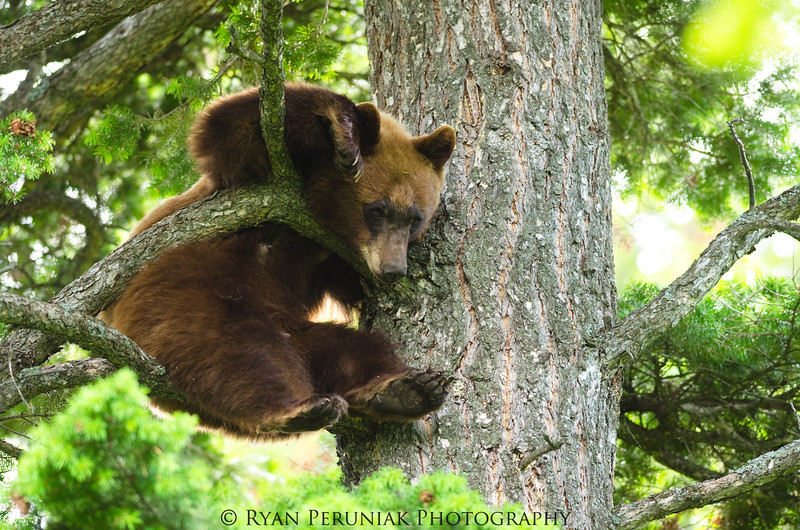 A rare glimpse into the life of a bear when they are not out eating people!
