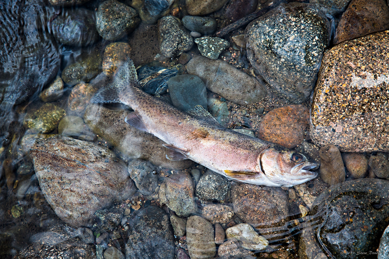 "While I do believe that wildfires are a natural and integral part of our ecosystem, I will say that I found it depressing to see how many dead fish are washing up on the shore beneath this confluence.  Ranging from 2"" to 14"", these victims were found every 8-or-so feet in the shallows."