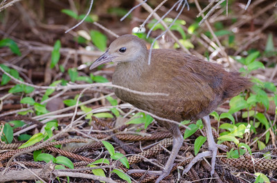 Lord Howe Woodhen