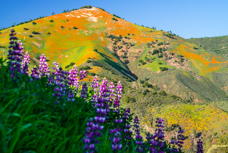 California Spring Wildflowers: Los Padres National Forest - Figueroa Mountain: Dr. Elliot McGucken Fine Art Landscape & Nature Photography: Grape Soda Lupine & California Poppies! Sony A7RII