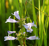 Lilac-flowered Beardtongue
