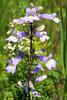 Slender Beardtongue / Lilac Penstemon
