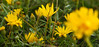 Golden Aster (Chrysopsis camporum)