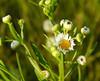 Fleabane (Erigeron genus)