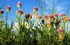Milk vetch (Astragalus)