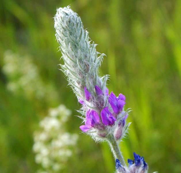 Showy Locoweed (Oxytropis splendens)