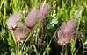 Three-flowered Avens
