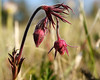 Three-Flowered Avens