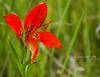 Wild Tiger Lily