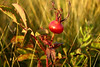 Wild Rose (genus Rosa)