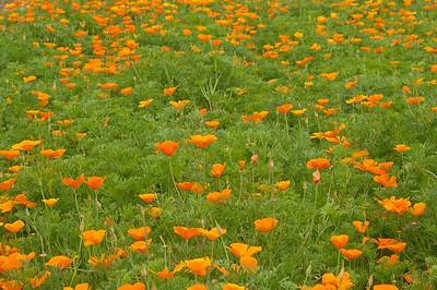 Poppies, Fredricksburg, Texas