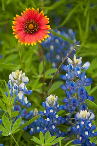Mexican Hat in Blue Bonnets
