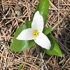 Location: moist forest by creek, breaks above Minam-Wallowa river<br /> Flower: Trillium ovatum<br /> Common name: Trillium, Wood lily<br /> Photographer: Danae Yurgel