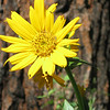 Location: Merritt Rd, Cricket Flats, north end of Union county<br /> Flower: Wyethia amplexicaulis<br /> Common name: Mule's ears wyethia<br /> Photographer: Danae Yurgel<br /> Season: early summer