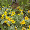 Location: Merritt Road, Cricket Flats, north end of Union county<br /> Flower: Balsamorhiza sagittata<br /> Common name: Arrowleaf balsamroot<br /> Photographer: Danae Yurgel<br /> Season: late spring