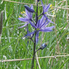 Location: Hunter Rd, Grande Ronde valley, Union county<br /> Flower: Camassia quamash<br /> Common name: Blue camas<br /> Photographer: Danae Yurgel<br /> Season: late spring