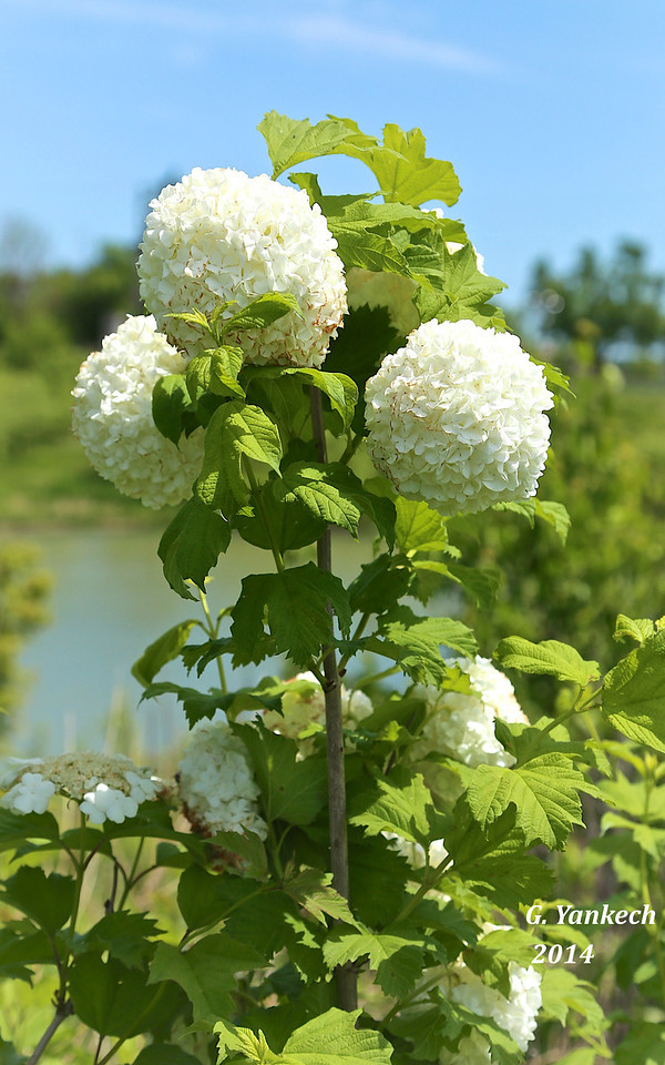 a non-native species to Ontario, used as an ornamental garden plant. This plant was found in the wild close to a roadside pond.