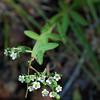 Flowering spurge (?)
