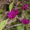 Beauty berry.<br /> October 28, 2008
