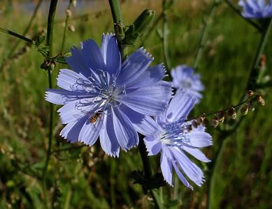 Chicory, Common - Chicorium intybus