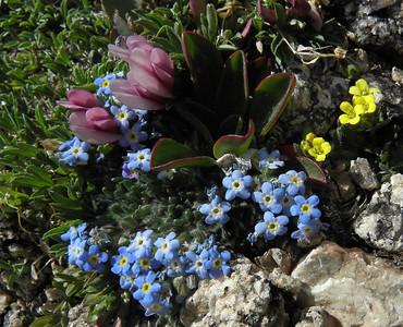 Forget-Me-Not, Alpine - Eritrichium nanum