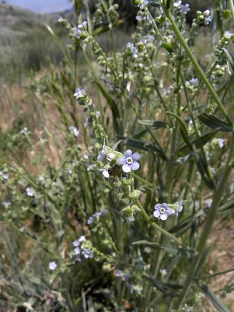 Forget-Me-Not, Stickseed - Hackelia floribunda