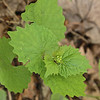 Garlic Mustard, Alliaria officinalis