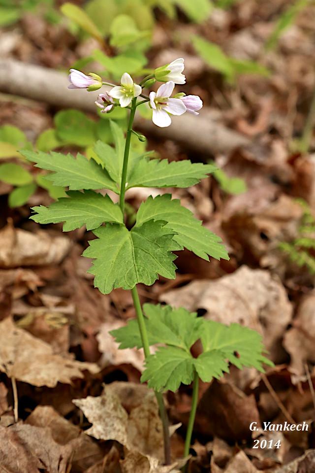 Broadleaf Toothwort, Cardamine diphylla