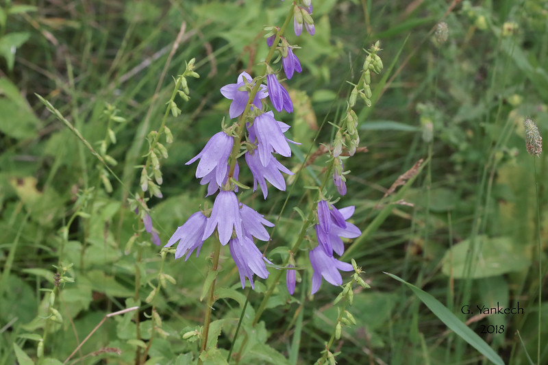 Creeping Bellflower, Campanula rapunculoides<br /> <br /> Hillcrest Park, Thunder Bay, Ontario