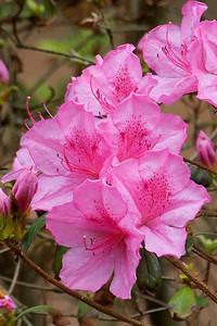 Azalea - pink - Wakulla Springs State Park, FL