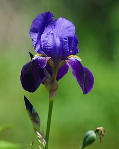 Iris - Madeline Island, WI